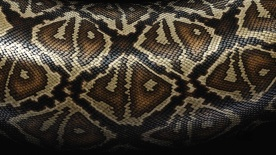 7022053-snake-skin-background